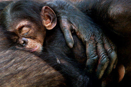 Детеныш шимпанзе, оригинал