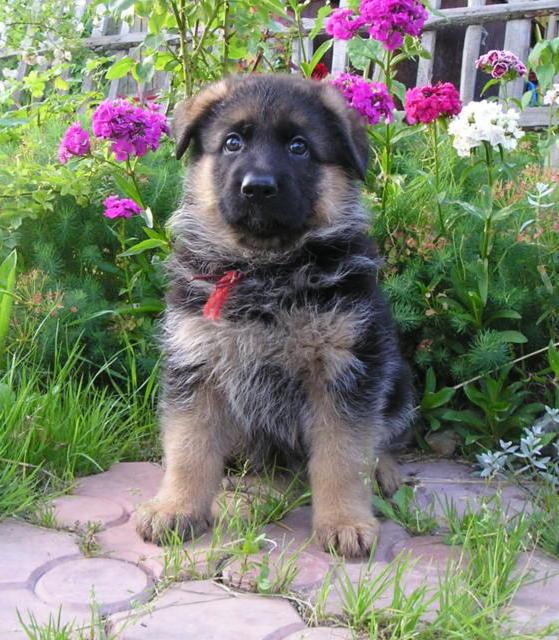 Мечта, щенок, немецкая овчарка