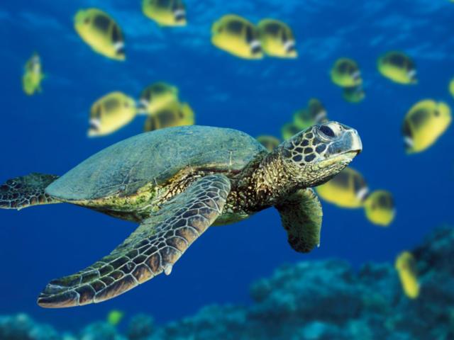 Морская черепаха, оригинал