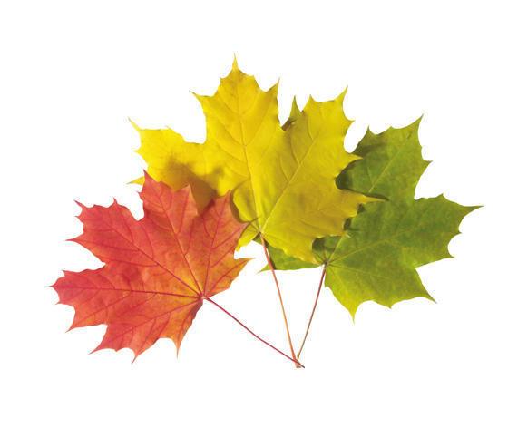 Листья клена, оригинал