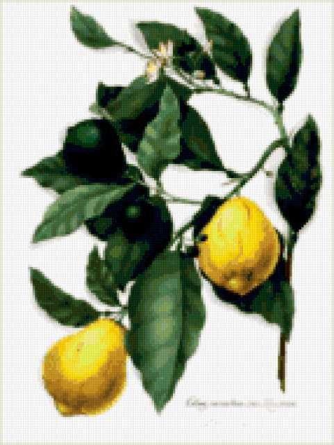Лимоны на ветке, предпросмотр