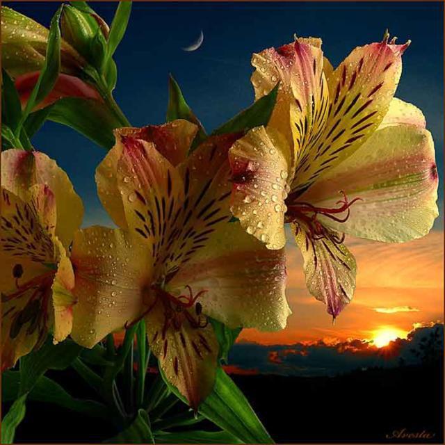 Ночные лилии, оригинал