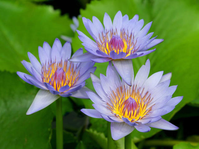 Голубые лотосы, цветок, лотос