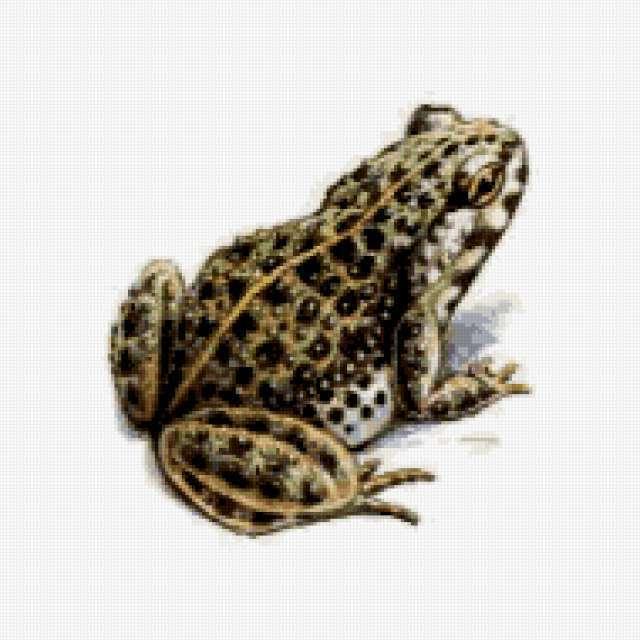 Лягушка (жаба), предпросмотр
