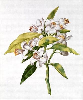 Цветок апельсина, ботанический