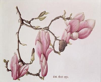 Магнолия, ботанический рисунок