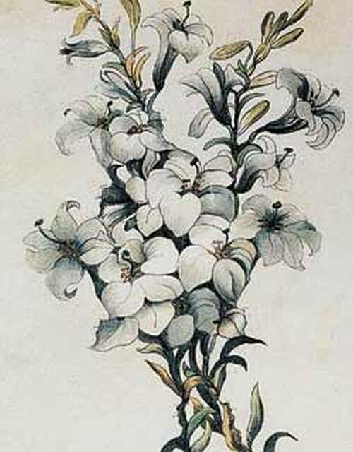 Белые лилии, букет, цветы,