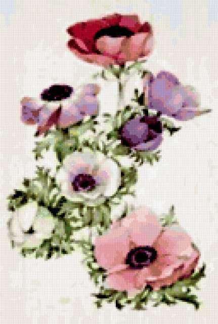 Анемоны, ботанический рисунок