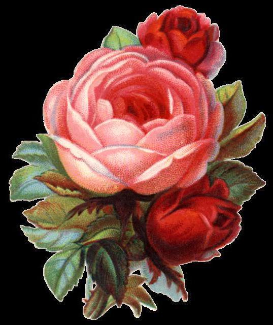 Викторианская роза