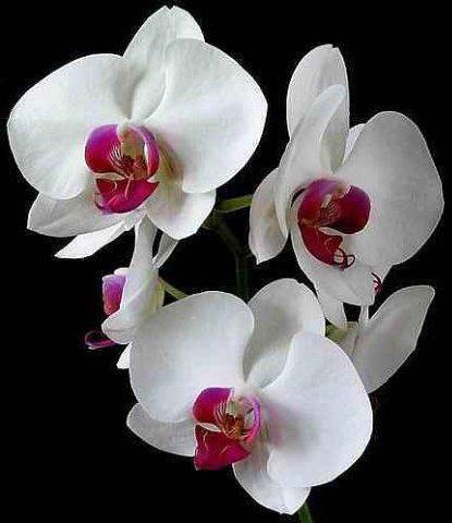 Орхидеи, оригинал