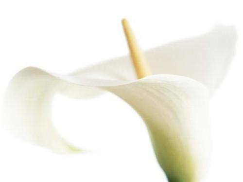 Белая калла на белом фоне,