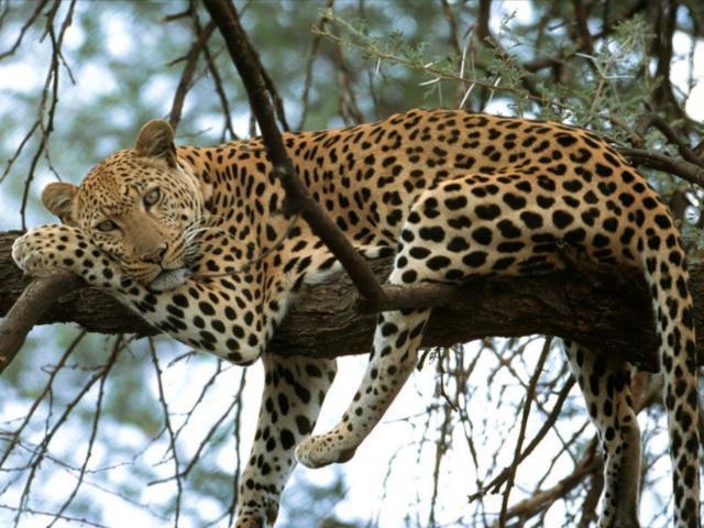Леопард на ветке, леопард,