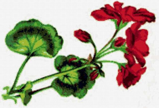 Герань, герань, цветы