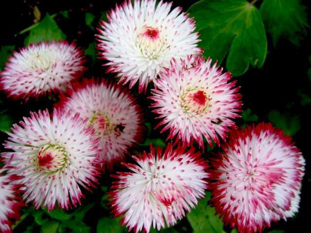 Маргаритки, флора, цветы