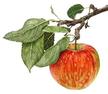 Яблоко на ветке, ботанический