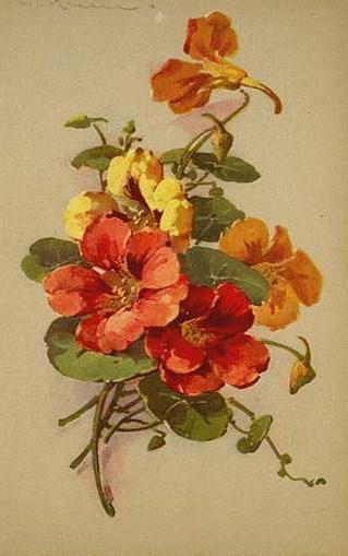 Настурция, цветок, настурция