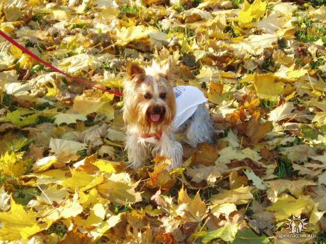 собачки, йорки, осень,