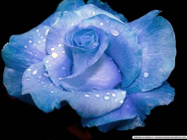 Голубая роза на черном,