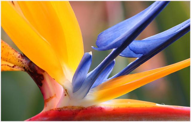 Стрелиция, флора, цветы