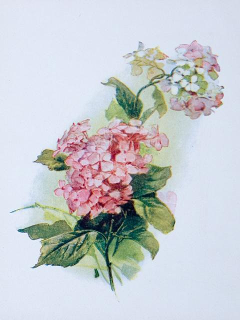 Гортензия, цветок, гортензия