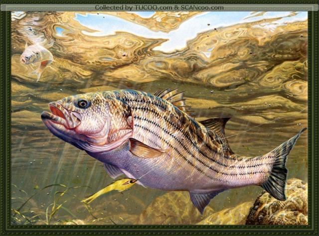 Крупная рыба, оригинал