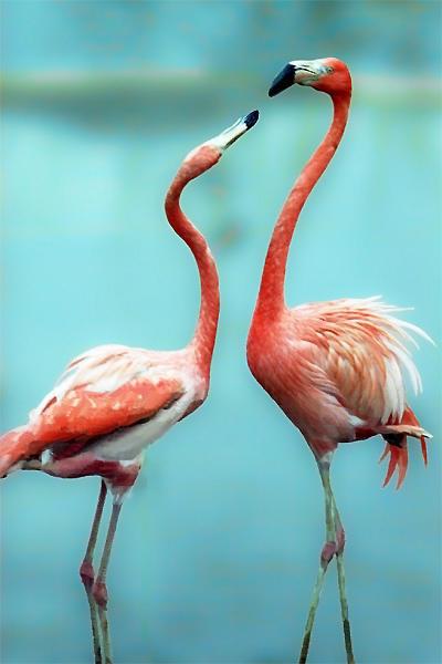Пара розовых фламинго, птицы,