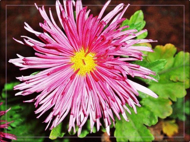 Астра, цветы