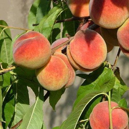 Ветка персиков, оригинал