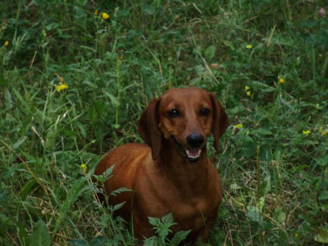 Собака породы такса - Шерри.,