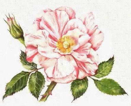 Шиповник, ботанический рисунок