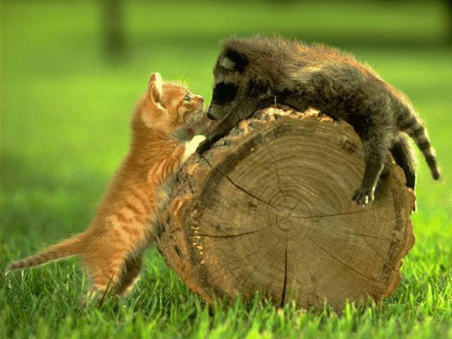 Котенок и кабан, коты,