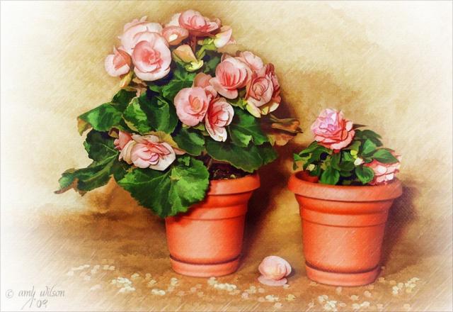 Розы в горшке, роза, цветы,