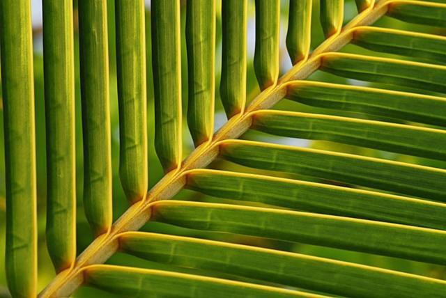 Лист пальмы, лист, пальма,