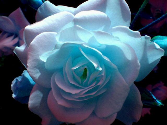 Бело-синяя роза, оригинал