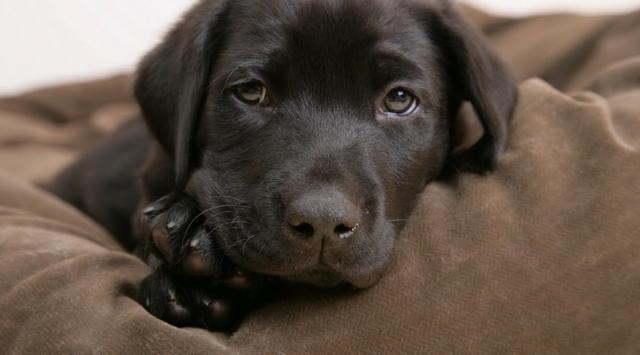 К схеме вышивки «Пес скучает»