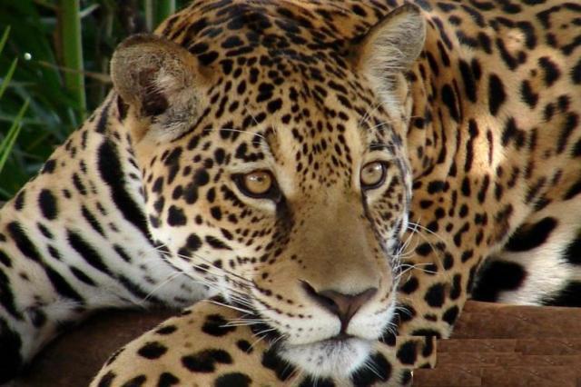 Леопард, животное, кошка