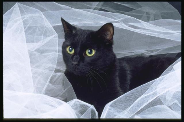 Черный котик на белом фоне,