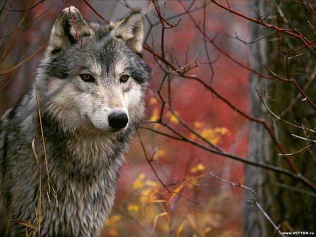 Волк в лесу,