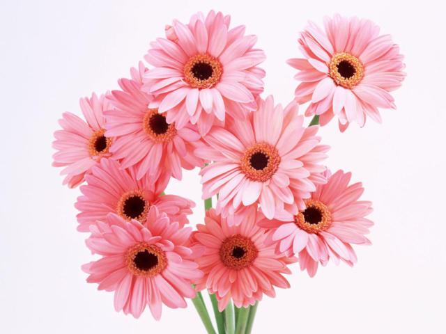 Цветы герберы,