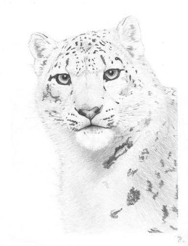 животные, снежные барсы