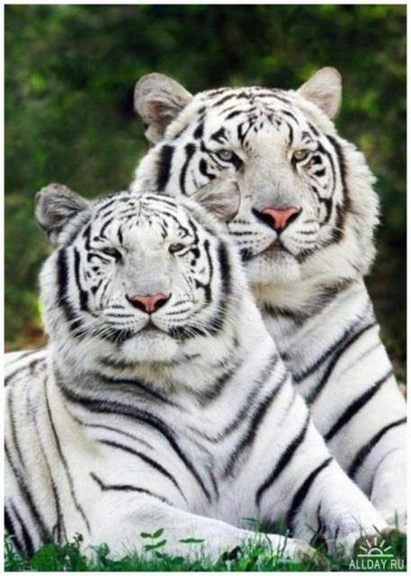 Белые тигры, белые тигры,