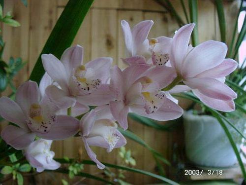 Архидея, цветы