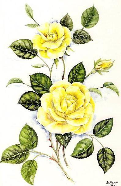 Жёлтые розы, роза, розы,