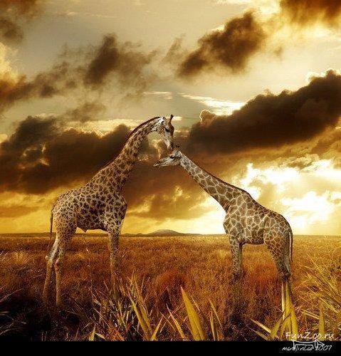 ЖИРАФЫ, жирафы, животные