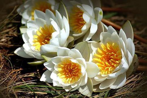 Букет лотосов, цветы