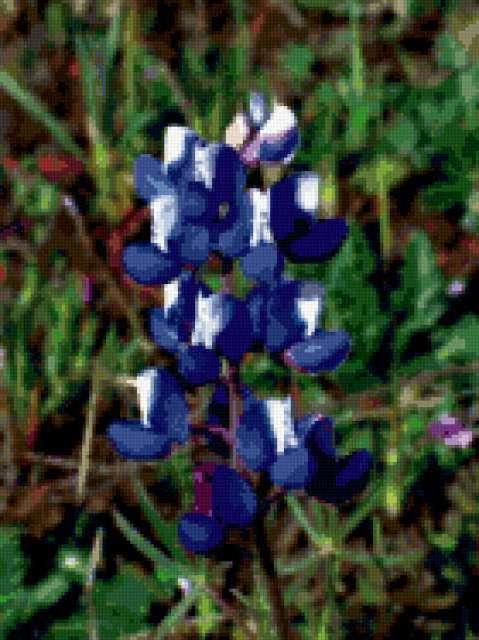 Синий люпин, цветы