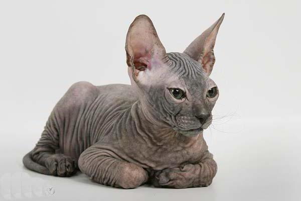 Египетская кошка 3, кошка,