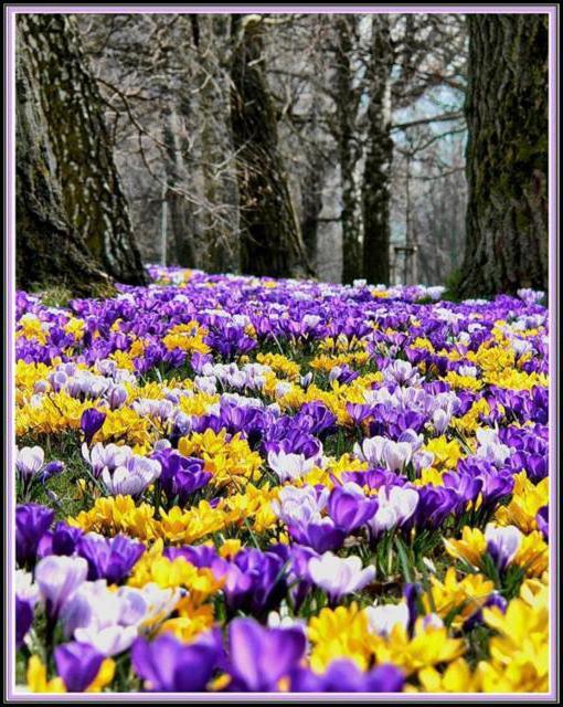 крокусы цветут, природа
