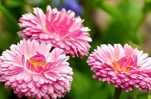 Маргаритки, цветы