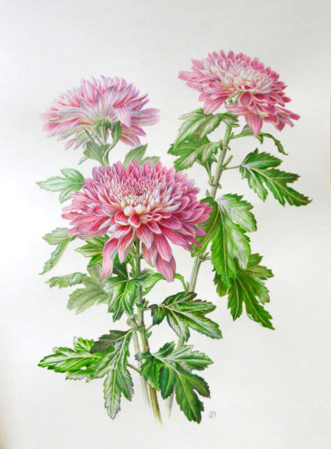 Хризантемы, цветок, хризантема